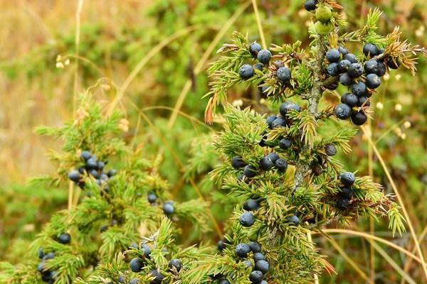 ardıç yaprağı faydaları